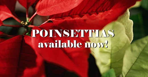Poinsettias are released!