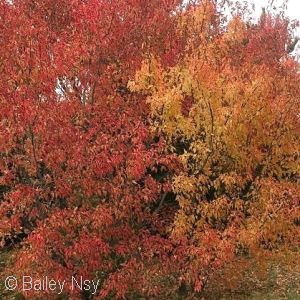 3 Sycamore Maple Trees,2-3 ft Acer Pseudoplatanus Hedge,Stunning Autumn Colour