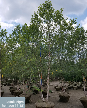 Search Trees Shrubs By Height Acorn Farms Wholesale Trees And Shrubs