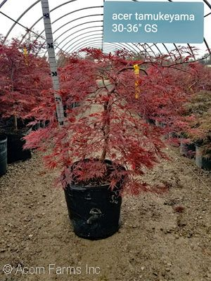 Search Trees Shrubs By Height Acorn Farms Wholesale Trees And