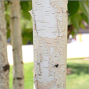 trees and shrubs with exfoliating or unique bark