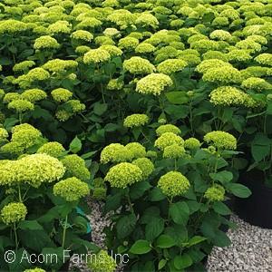Acorn Farms Search - Nursery-bulk wholesale trees, shrubs