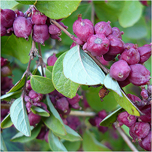 Search results acorn farms wholesale trees shrubs perennial and bell shaped white flowers with a pink tinge appear in summer giving way to clusters of coral red berries also called indian currant native mightylinksfo