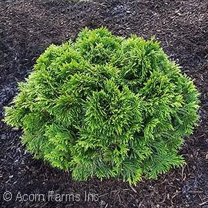 Acorn Farms Genus - Nursery-bulk wholesale trees, shrubs, perennials