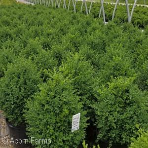 Acorn Farms Genus - Nursery-bulk wholesale trees, shrubs