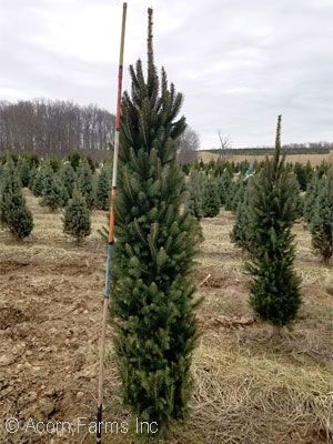 Search Evergreen Trees Acorn Farms Wholesale Evergreen Trees