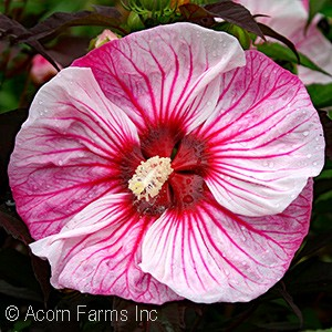Hibiscus 'Cherry Choco Latte' PPAF