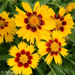 Search perennials by color acorn farms wholesale trees shrubs coreopsis corey yellow mightylinksfo