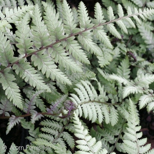 Athyrium Bradford Beauty