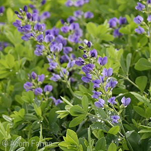 Search by genus acorn farms blue wild false indigo mightylinksfo Image collections