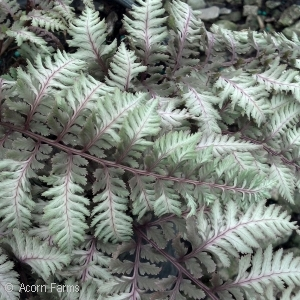 Athyrium nip Regal Red