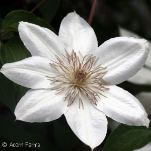 Search by genus acorn farms clematis henryi mightylinksfo