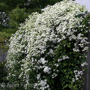 Search by genus acorn farms clematis paniculata mightylinksfo