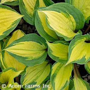 Hosta 'Island Breeze'