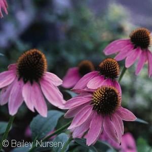 Echinacea - Pennsylvania native perennial plant