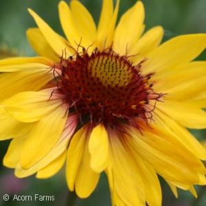 Search by genus acorn farms gaillardia amber wheels mightylinksfo