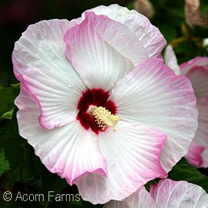 Hibiscus 'Ballet Slippers' PPAF
