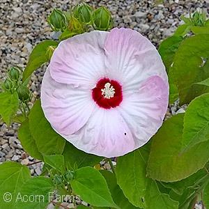 Hibiscus moscheutos 'LUNA™ Pink Swirl'