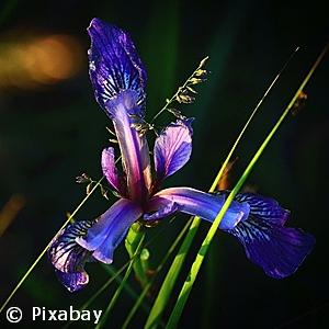 Iris versicolor - Pennsylvania native perennial plant