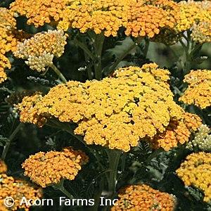 Search Perennials By Height Acorn Farms