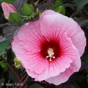 Hibiscus 'Summer Storm'