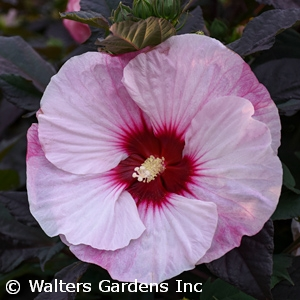 Hibiscus 'Perfect Storm'