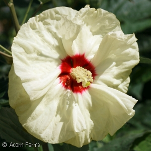 Hibiscus 'New Old Yella'