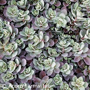 Sedum Sunsparkler™ Series