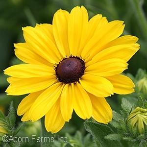 Acorn farms wholesale trees shrubs perennials and annuals burgundy flower full sun zone 5 perennial mightylinksfo