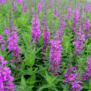 Search perennials by height acorn farms mordens gleam deep rose loosestrife mightylinksfo