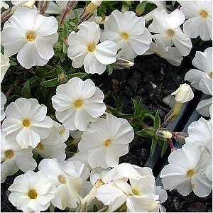 Search results acorn farms wholesale trees shrubs perennial and fragrant star shaped white flowers appear in spring over evergreen moss like foliage plant in full sun mightylinksfo