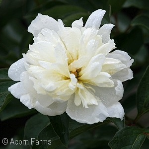 Search results acorn farms wholesale trees shrubs perennial and fluffy lemon yellow center petals emerge from a base of snow white petals fragrant mightylinksfo