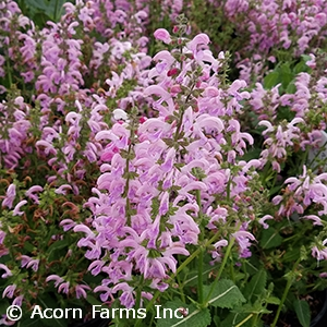Perennials for dried flowers acorn farms wholesale trees shrubs viola klose perennial sage mightylinksfo
