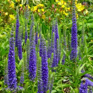 Search results acorn farms wholesale trees shrubs perennial and zone 6 perennial 5372 upright groundcover produces tall stalks of violet blue flowers from early summer until frost deer resistant but mightylinksfo