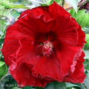 Hibiscus Summerific ™ Series