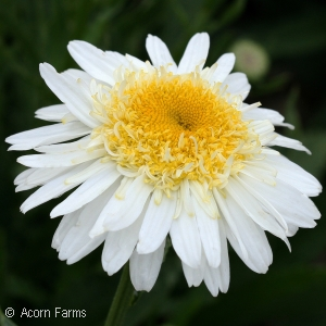 Leucanthemum Real™ Series