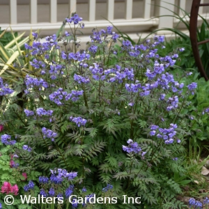browse perennials by common name