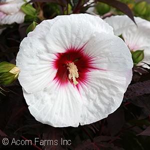 Hibiscus 'Mocha Moon PP27837'