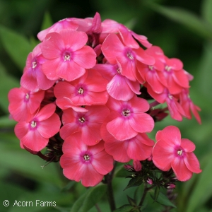 Phlox pan. Glamour Girl