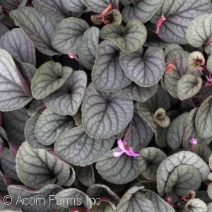 Viola walteri 'Silver Gem'