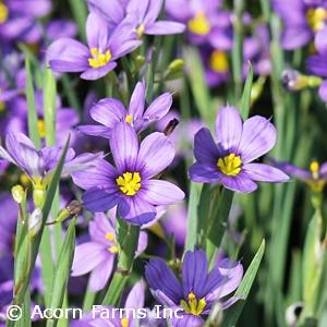 Lucerne - Wild Flower Finder