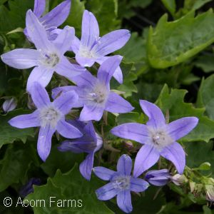 perennials for part sun, part shade