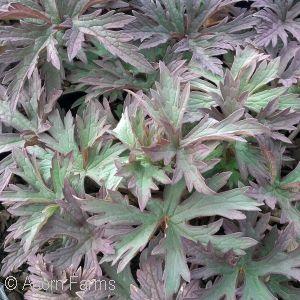 Geranium pratense 'Purple Heron'