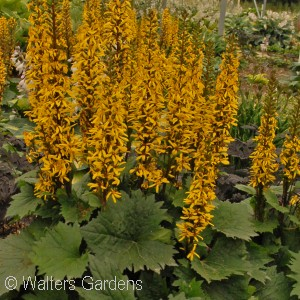 Search results acorn farms wholesale trees shrubs for Plant with tall spikes of yellow flowers