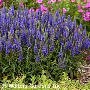 Search perennials by color acorn farms wholesale trees shrubs blue flower full sun mightylinksfo