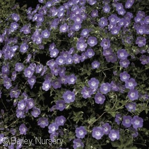 Perennial Geraniums Carefree And Hardy New And Old Favorites