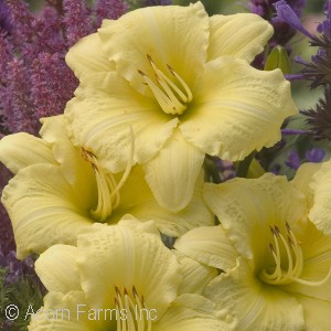 Hemerocallis Rainbow Rhythm Collection