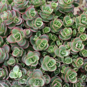 Search results acorn farms wholesale trees shrubs perennial and green leaves have pink edges hot pink flowers appear from late summer into fall low growing groundcover type habit reaches 4 6 inches tall prefers mightylinksfo
