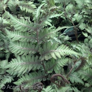 Athyrium nip pic Apple Court