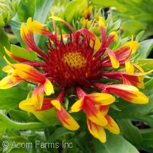 Search by genus acorn farms sun sun devil blanket flower mightylinksfo